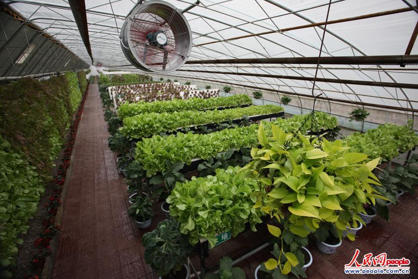 营养液栽培的蔬菜