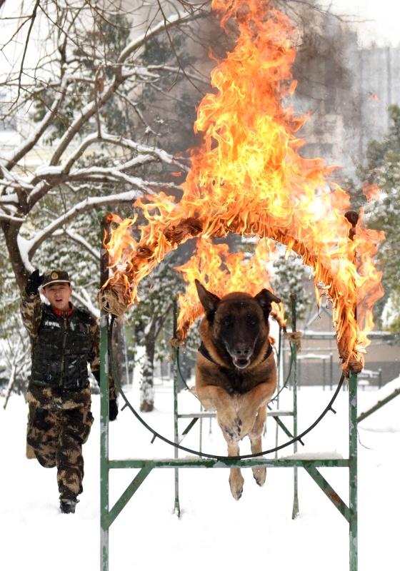 """武警安徽总队机动支队警犬班战士王营广带领""""鲁克""""进行跳火圈训练。"""
