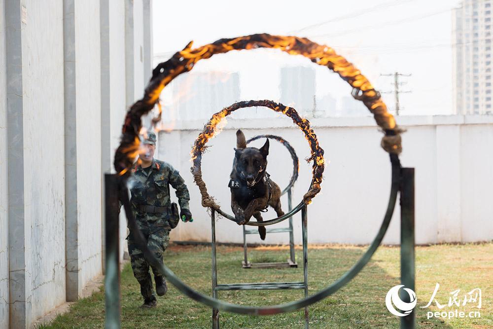 警犬進行跳火圈訓練。